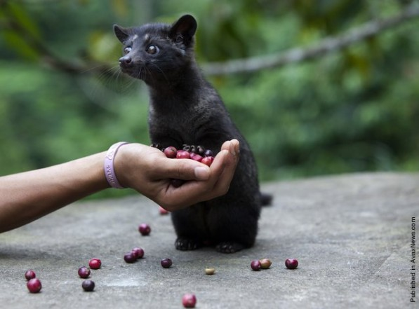 "Asian Palm Civet: The ""Cat"" in Cat Poop Coffee"